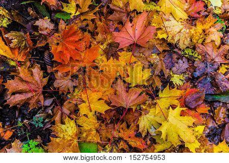 Fallen colorful maple leaves. Colors of Autumn.