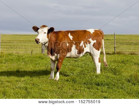 A cow grazes in a meadow in the Alps