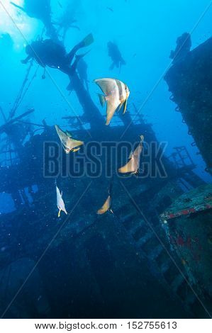 School Of Batfish Near A Sunken Ship In The Maldives