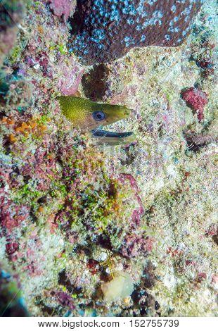 Yellow-headed moray eel (Gymnothorax rueppelliae) in Maldives