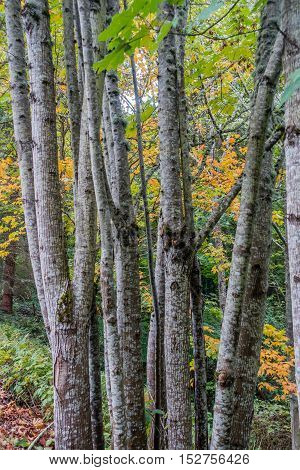 Closeup shot of Birch Trees in the Pacific Northwest.