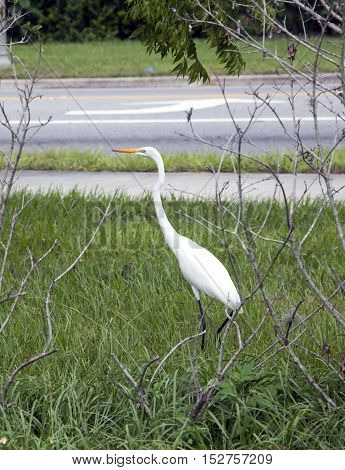 Great White Egret (Ardea alba) also known as Common Egret or Great White Heron photographed in Florida.