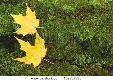 autumn leaves on green peat moss background