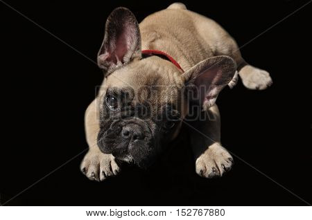 Let,s play. Pale yellow puppy of French bulldog on black background