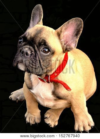 isolated Pale yellow puppy of French bulldog on black background