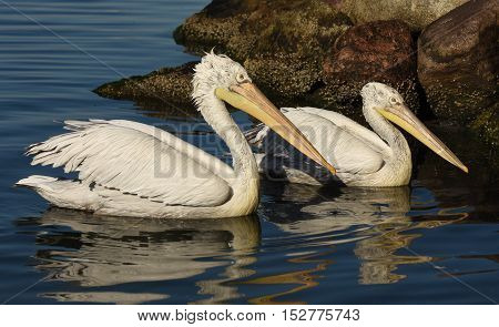 Two pelicans swimming on blue sea, closeup.