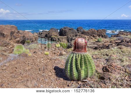 Melocactus Turk's cap cactus thrive in dry rocky landscape of Soldier's Point on Caribbean island of Isla Culebra in Puerto Rico