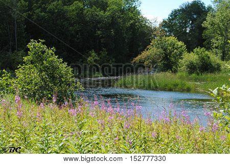 purple flowers by the creek in ely minnesota