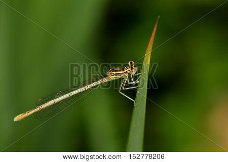 Damselfly sitting on a leaf of grass