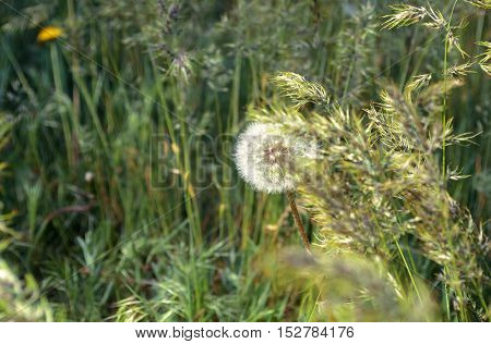 One dandelion in a grass in the wood. Horizontal format. Outdoors. Color. Photo.