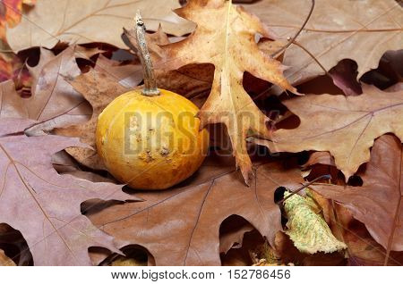 Small Decorative Pumpkin On Autumn Dry Leaves