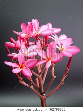 group of pink flowers (Frangipani Plumeria) Put on a black background.