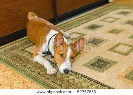 Boring basenji dog lying on the floor carpet