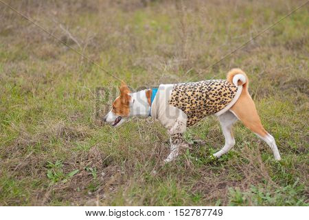 Basenji dog wearing leopard style coat hunting in an autumnal field