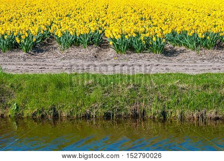 Yellow flowering narcissus on the edge of the field and next to the water of a stream. It is a sunny day in springtime in the bulb region of the Netherlands.