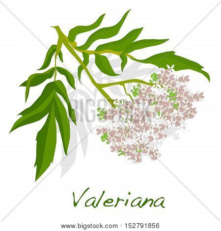 valeriana herb vector illustration on white  isolated.