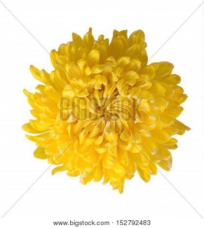 Yellow chrysanthemum flower  with isolated white background.