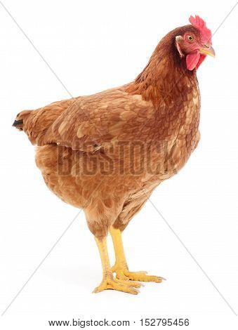 brown hen isolated on white studio shot