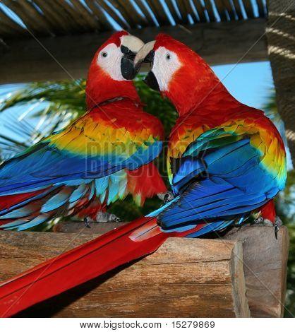 Playful parrots