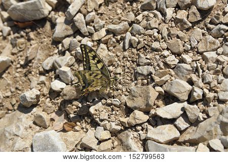 A day butterfly (Hesperiidae-Nymphalidae) sitting on a stony pathpicture from right side.