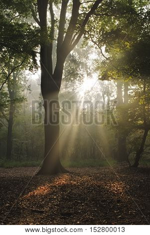 Tree back lit by magical sunbeams in misty forest