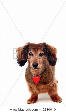 Long hair dachshund wearing a Valentine heart