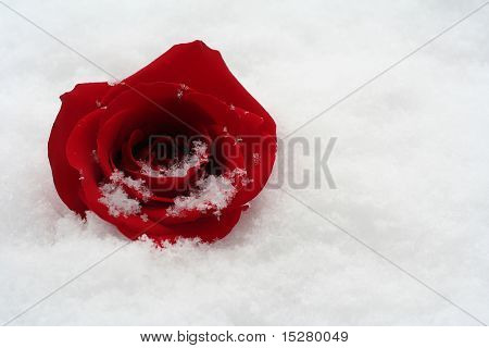 Perfect red rose in fresh snow.