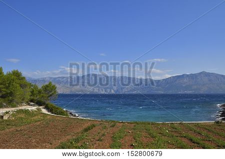 Water-melon field on Brac Island in Croatia with blue Adriatic sea and mountains in background.