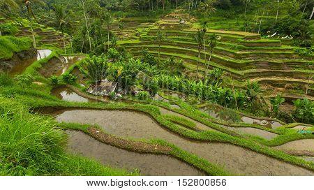 Green rice terraces in Bali island.