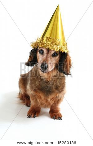 Birthday dog, part of a series of holiday pictures featuring the same dog. (Studio shot)