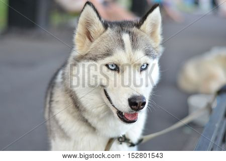 beautifu husky dog with blue eyes look