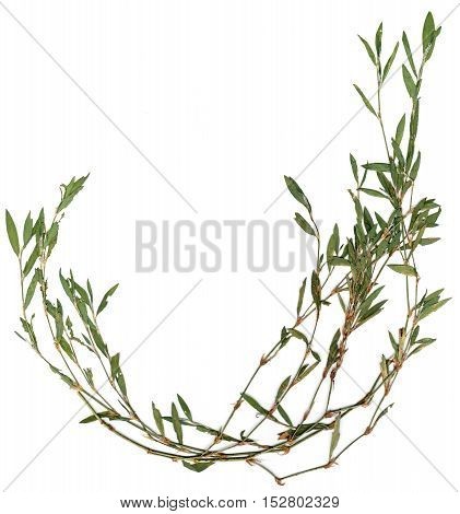 Knotweed Grass Isolated