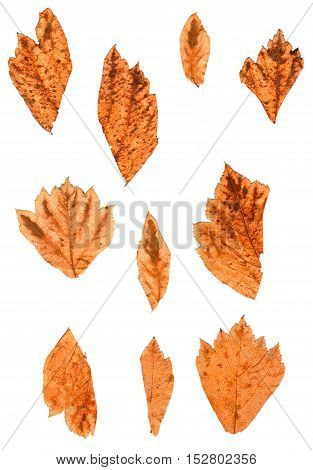 Hawthorn Perspective Dry Delicate Mottled Leaf Isolated On White