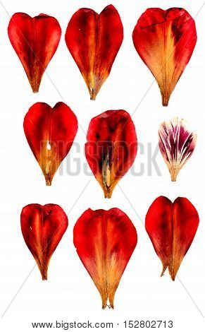 Tulip Perspective, Dry Delicate Yellow, Red, Orange Flowers And Petals Isolated On White Background