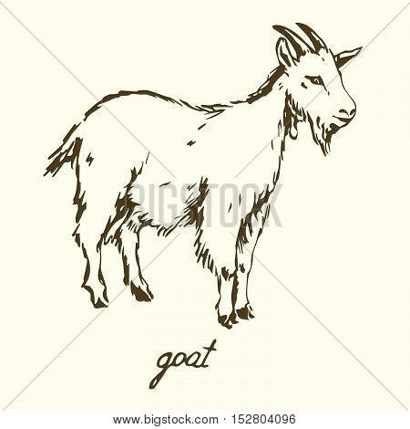 White goat, Hand drawn sketch vector illustration