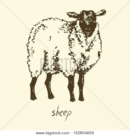 White Sheep, Hand drawn sketch vector illustration