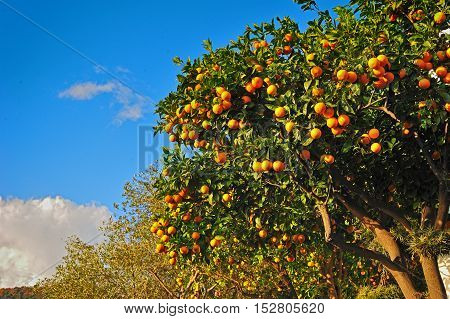 Ripe oranges. oranges on a tree with blue sky