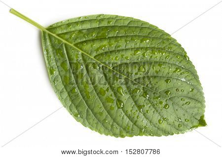 Hydrangea leaf covered in raindrops.  Top view, isolated on white.  Fresh picked from garden during spring rain.