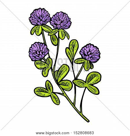 Branch of clover. Vector engraving vintage color illustration. Isolated on white background.