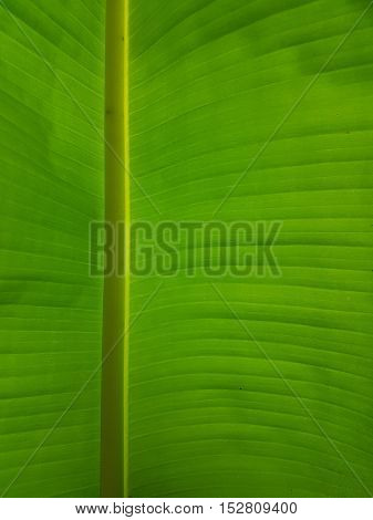 Green brightly lit banana leaf, with many details.