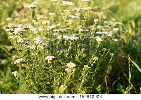 Yarrow herb herbal, organic, flower growing in a meadow