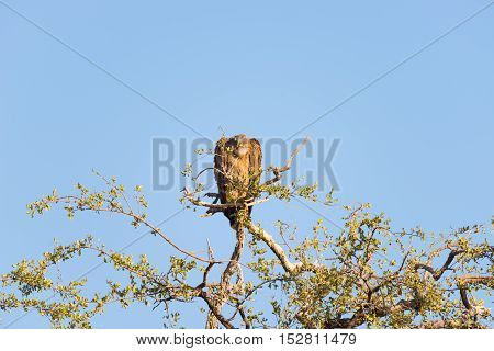 Brown Vulture Perched On Acacia Tree Branch. Telephoto View, Clear Blue Sky. Kruger National Park, T
