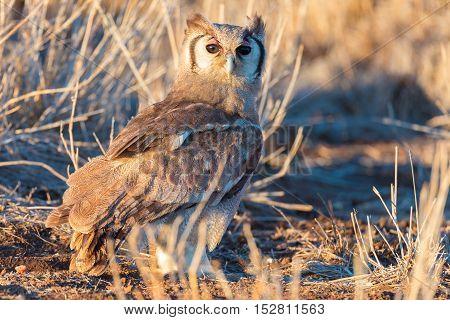 Close-up Of A Cute Owl Standing On Ground In The Bush And Looking At Camera. Scenic Sunset Light. Kr