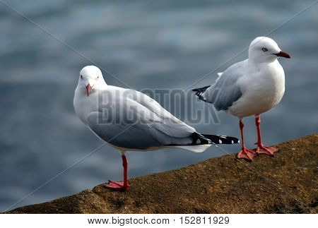 Close up of two seagulls on the rock fence.