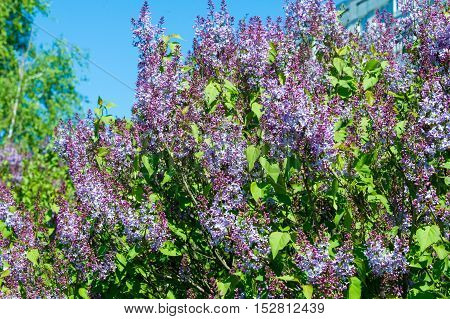 Texture, Pattern, Background. Lilac Flowers. Of A Pale Pinkish-violet Color. Large Garden Shrub With