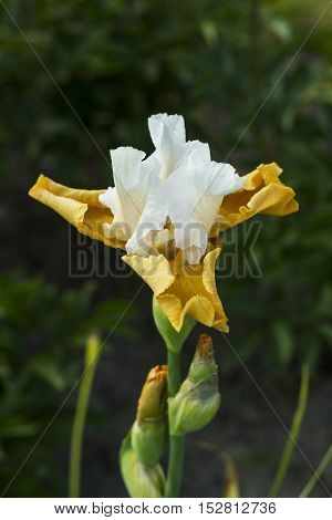 Iris flower with pure white top and cream colored bottom with bud in spring garden