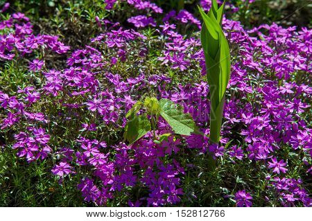 Phlox, A North American Plant That Typically Has Dense Clusters Of Colorful Scented Flowers, Widely