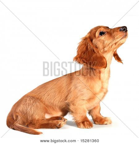 Isolated dachshund puppy looking up... add your own product.