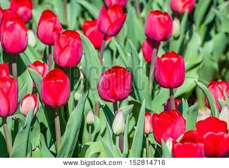 Closeup of bright red blooming tulip bulbs in the field of a specialized Dutch tulip bulbs grower. It is a sunny day in springtime.