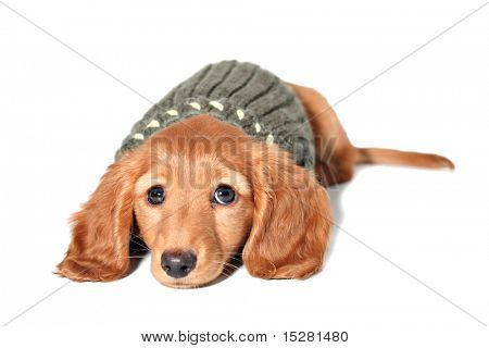 Dachshund puppy in a sweater